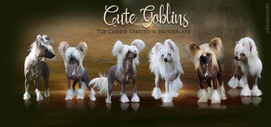 Cute Gobline Chinese Crested